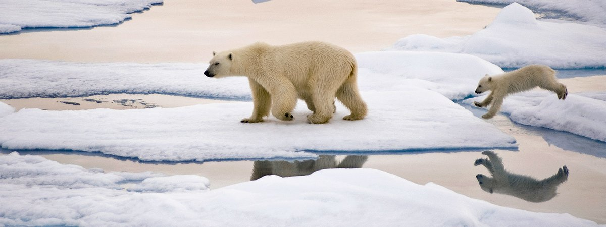 Female polar bear with cub on sea ice. The cub is jumping from one ice floe to another.