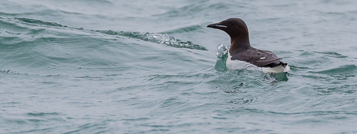 Closeup of a Brünnich's guillemot on the ocean surface.