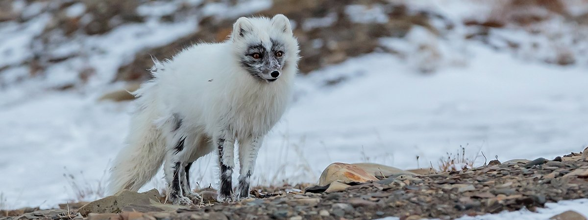 Arctic fox bag
