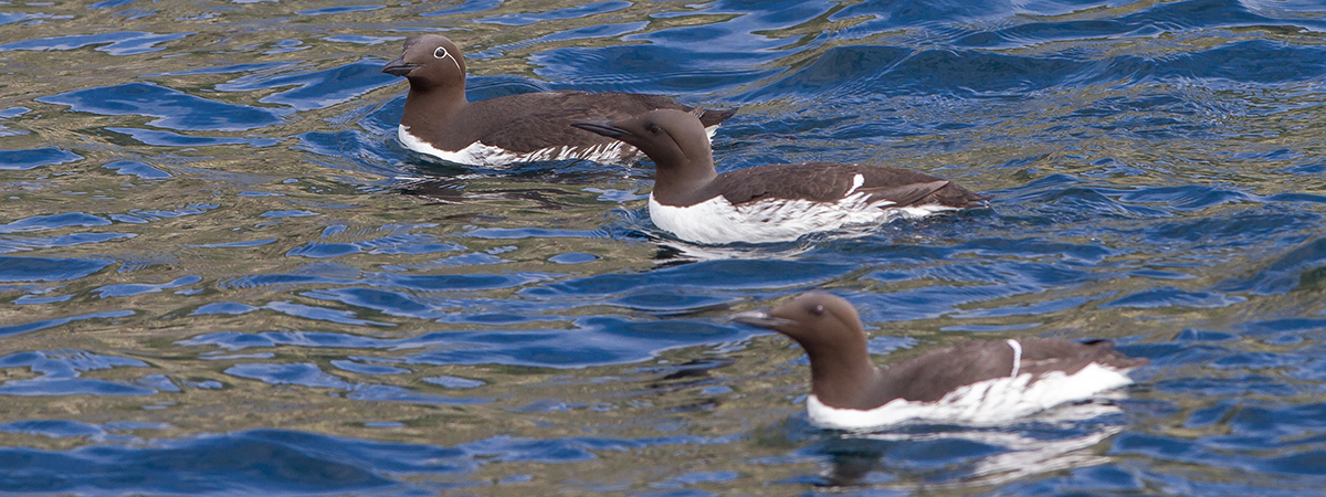 Semi-closeup of three guillemots on the surface of the ocean.