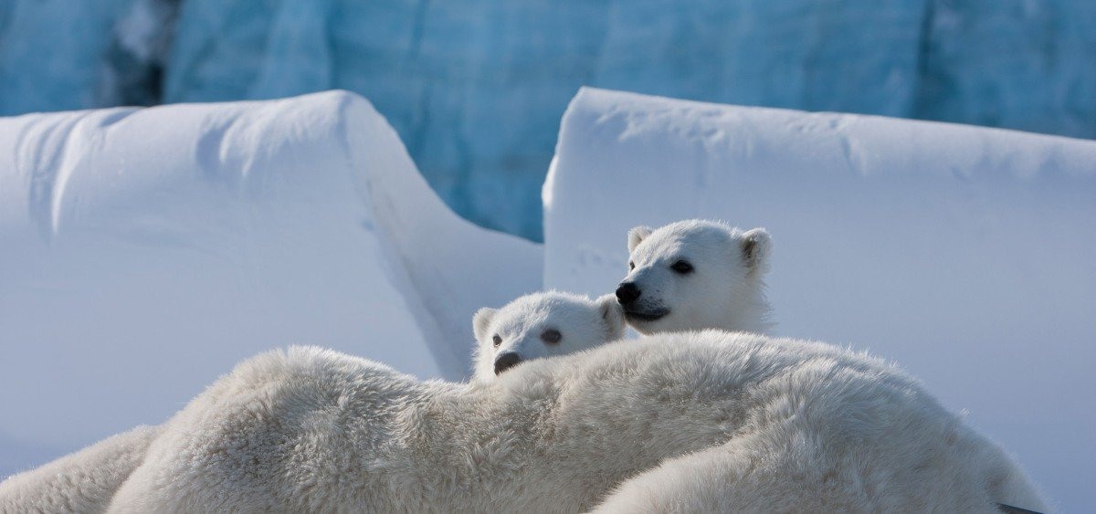 Two polar bear cubs climbing on their mother, who is lying on the ground. Snow and ice in the background