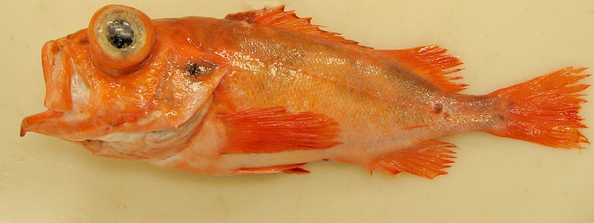 Stock of deep-sea redfish in the Barents Sea