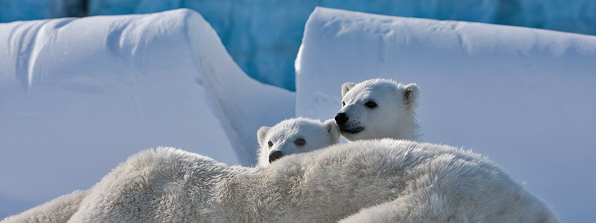 Two polar bear cubs stick up their heads from behind their mother, who is laying on the ground. In the background snow and ice.