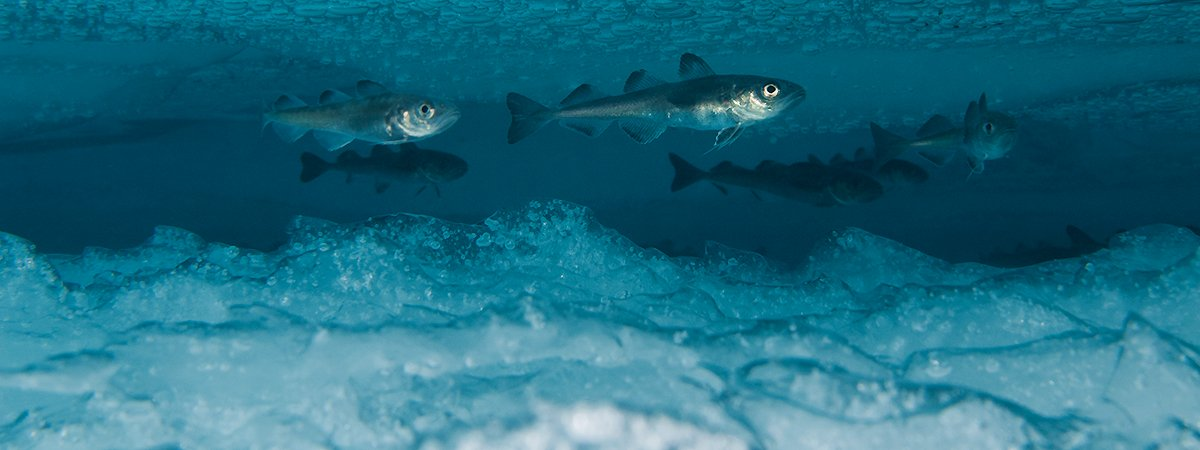 A small school of polar cod swimming under the ice.