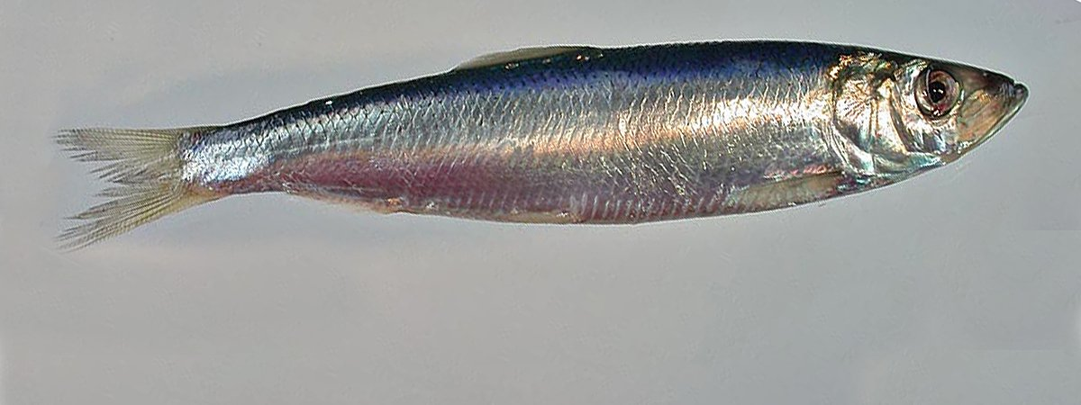 Stock of young herring in the Barents Sea