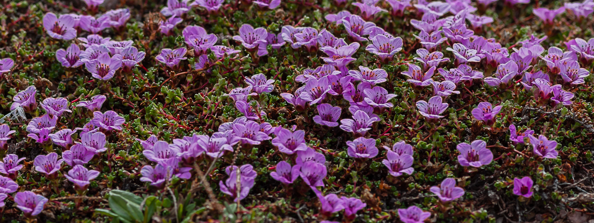 Closeup photo of the purple saxifrage plant, latin Saxifraga oppositifolia.