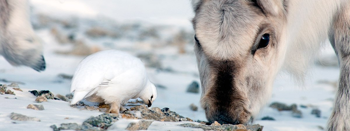 Closeup of a Svalbard reindeer and a Svalbard rock ptarmigan foraging right next to each other.
